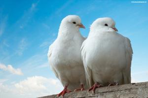 Two dove